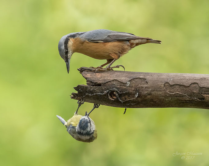 Boomklever kijkt verbaasd naar pimpelmees - Nuthatch looking curiously towards Blue Tit.
