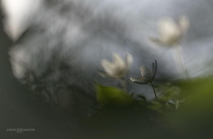 Bosanemoon - Wood Anemone.