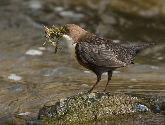 Roodbuikwaterspreeuw met nestmateriaal - Red-bellied dipper with nest material.