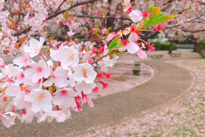 咲くことは散ること