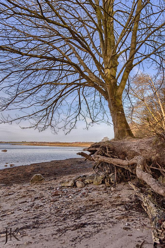 Holnis Spitze - ein schwebender Baum am Strand
