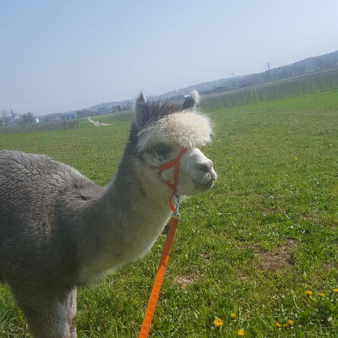 Alpaka beim Spaziergang
