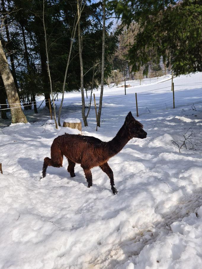 Alpaka Wilma im Schnee