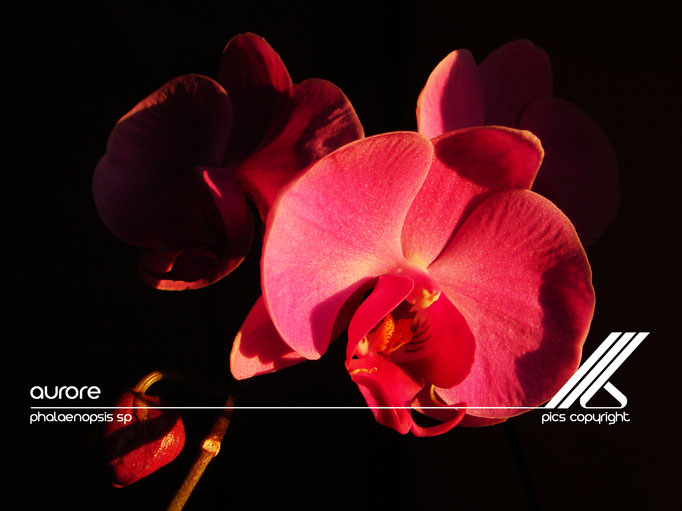 le long barbare photographie - aurore - phalaenopsis sp - jura