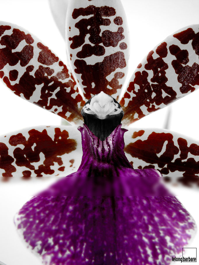 le long barbare photographie - la danseuse - zygopetalum sp - jura - 20140320