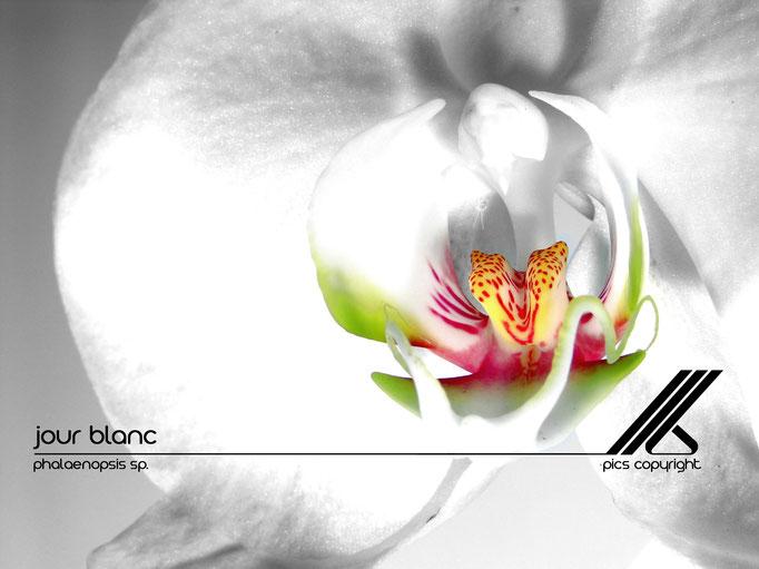 le long barbare photographie - jour blanc - phalaenopsis sp - jura