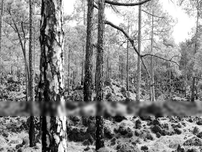 le long barbare photographie - llbpicscopyright - pinus canariensis - tenerife - 20150222