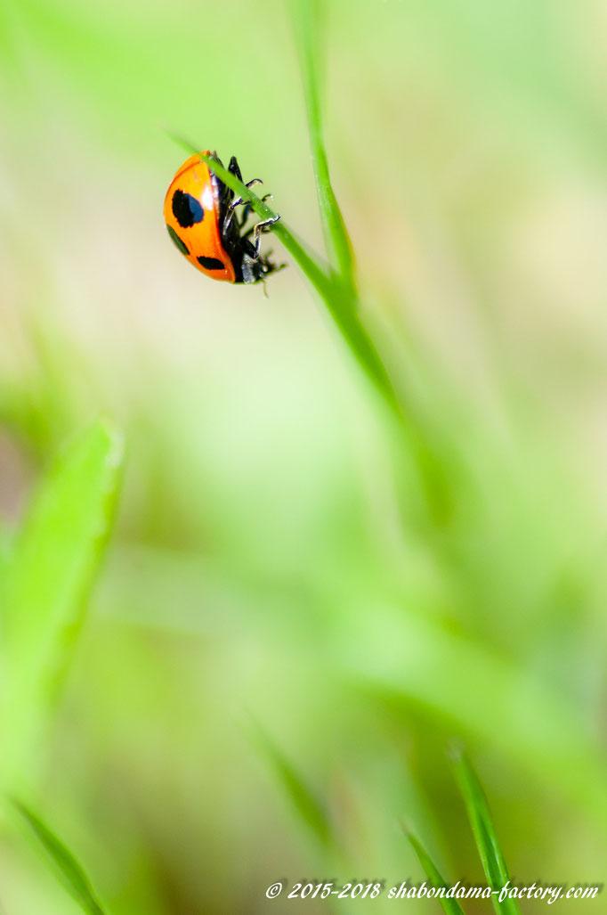オレンジ色のてんとう虫
