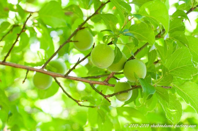 小ぶりな梅の実
