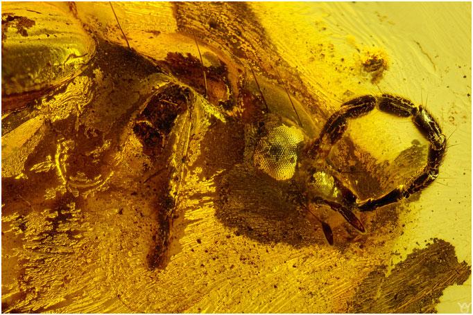 574b, Coleoptera, Käfer, Baltic Amber