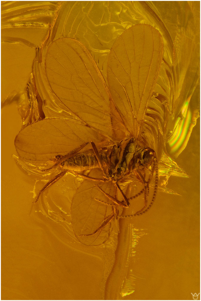 697, Coniopterygidae, Netzflügler, Baltic Amber