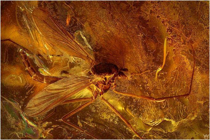 611, Nematocera, Mücke, Baltic Amber