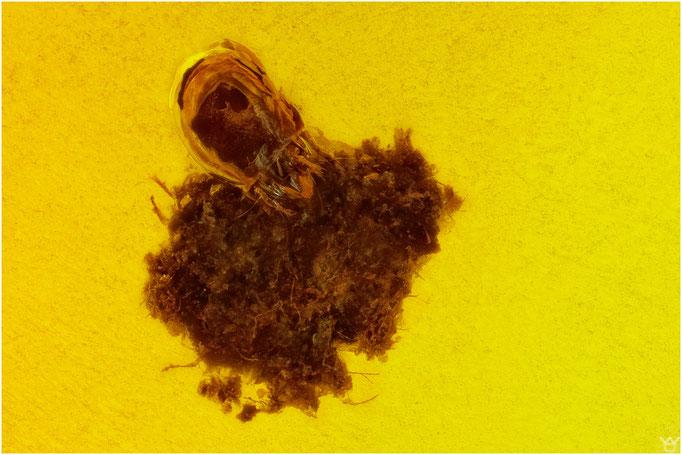 598, Acari, Milbe, Baltic Amber