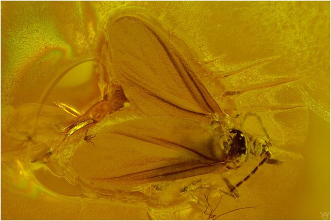 607. Coccina, Schildlaus, Baltic Amber