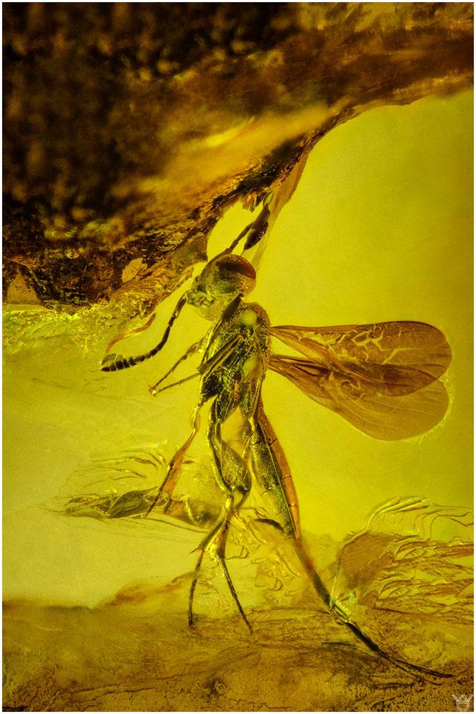 602, Hymenoptera, Wespe, Baltic Amber