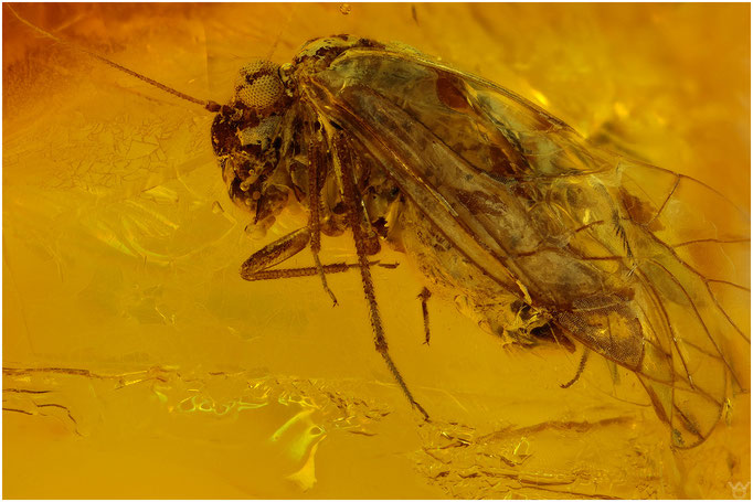 578,Psocoptera, Staublaus, Baltic Amber