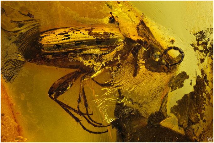 574a, Coleoptera, Käfer, Baltic Amber