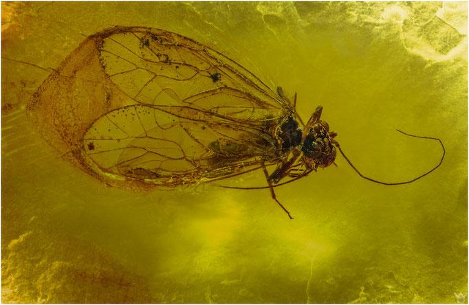 597, Psocoptera, Staublaus, Caecilius debilis, Dominican Amber