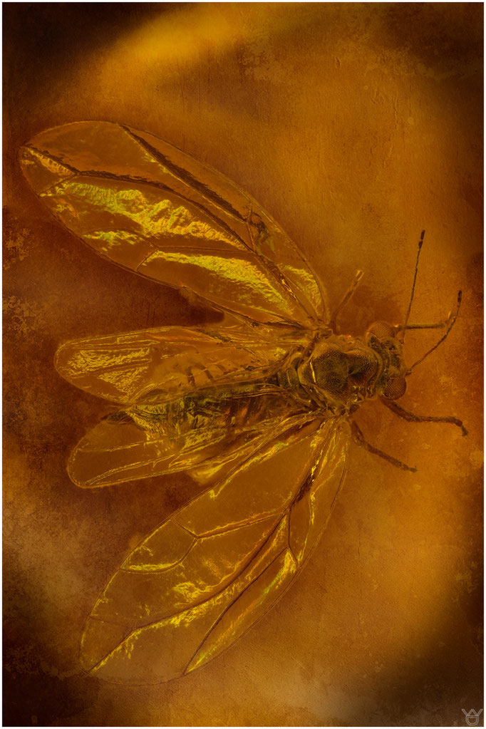 591, Psyllina, Blattfloh, Dominican Amber