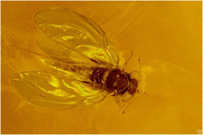 603,Triozidae, Blattfloh, Dominican Amber