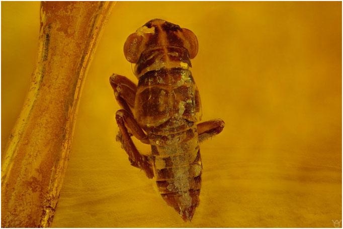 626, Cicadina, Zikade, Baltic Amber