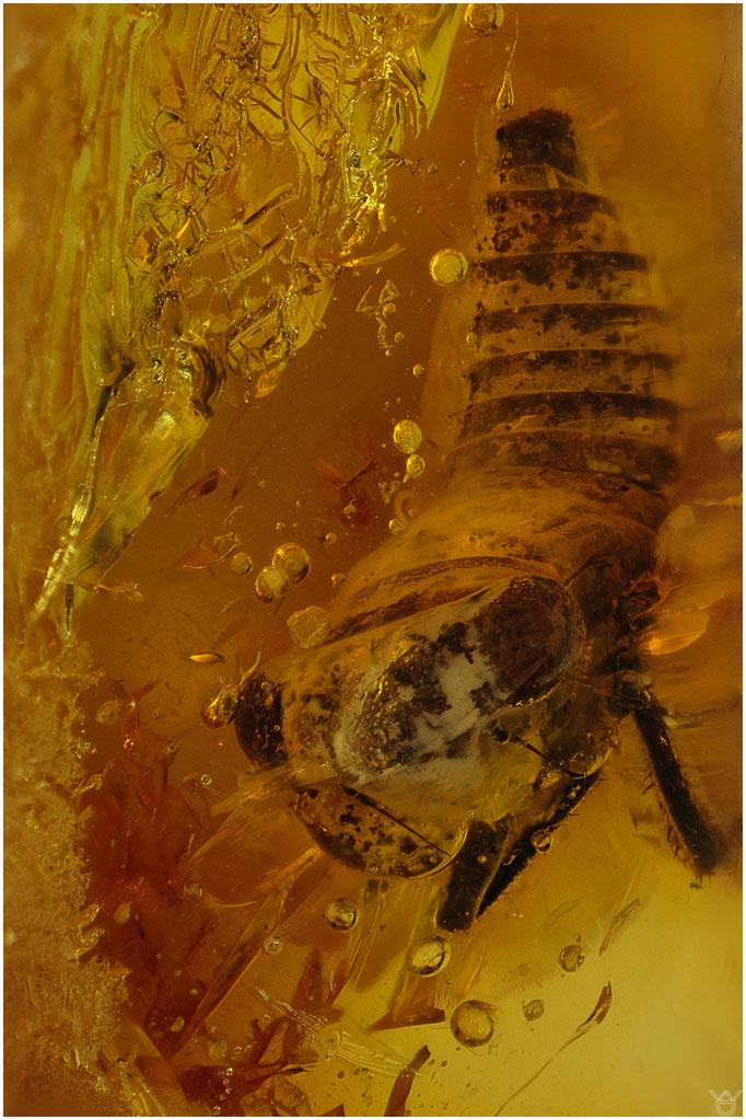 577, Cicadina, Zikade, Baltic Amber