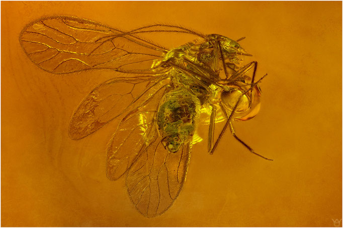 592, Psocoptera, Staublaus, Cladiopsocidae, Dominican Amber