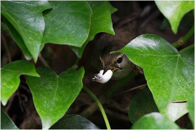 Zilpzalp räumt das Nest auf