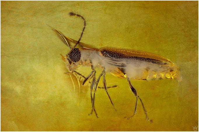 582, Coleoptera, Käfer, Baltic Amber