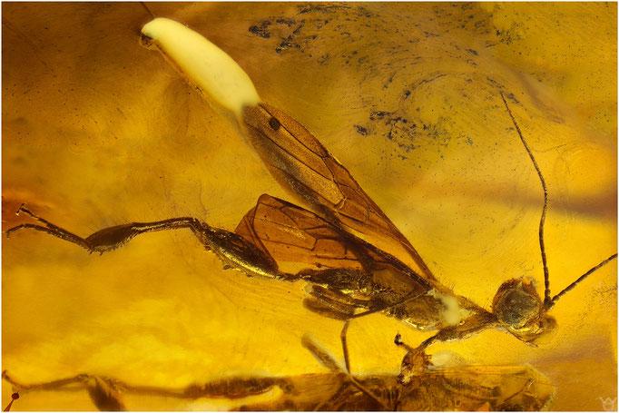 625, Stephanidae, Kronenwespe, Baltic Amber