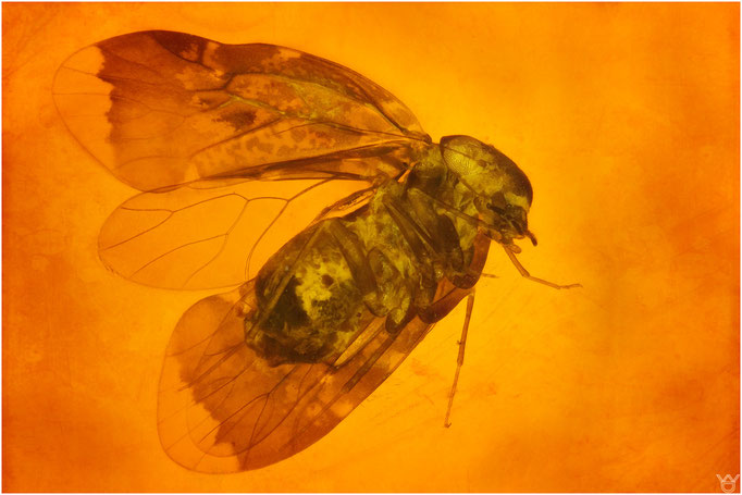 601,Psocoptera, Staublaus, Dominican Amber