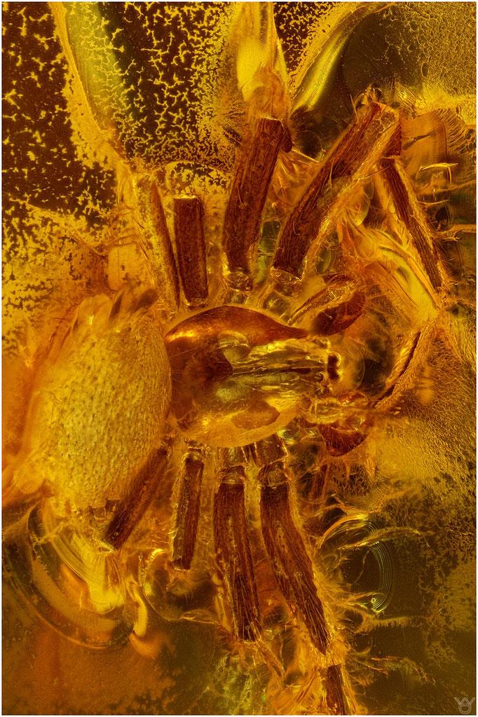 618, Araneae, Spinne, Baltic Amber