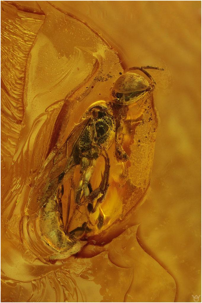 616, Spheciformes, Grabwespe, Baltic Amber