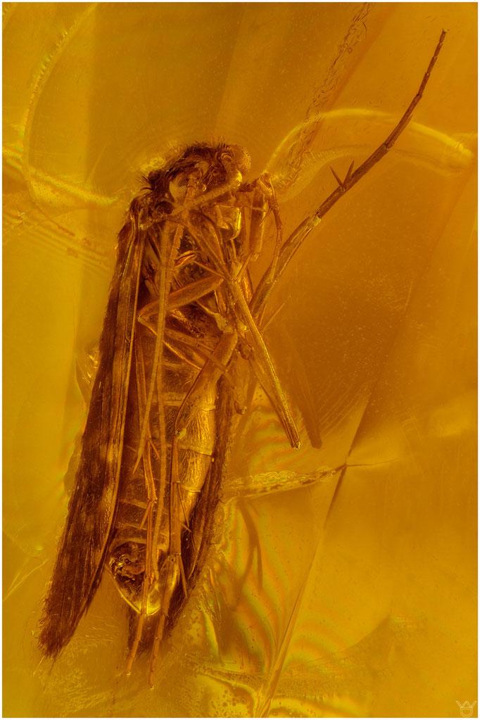 571, Plectrocnemia, Netzköcherfliege, Baltic Amber