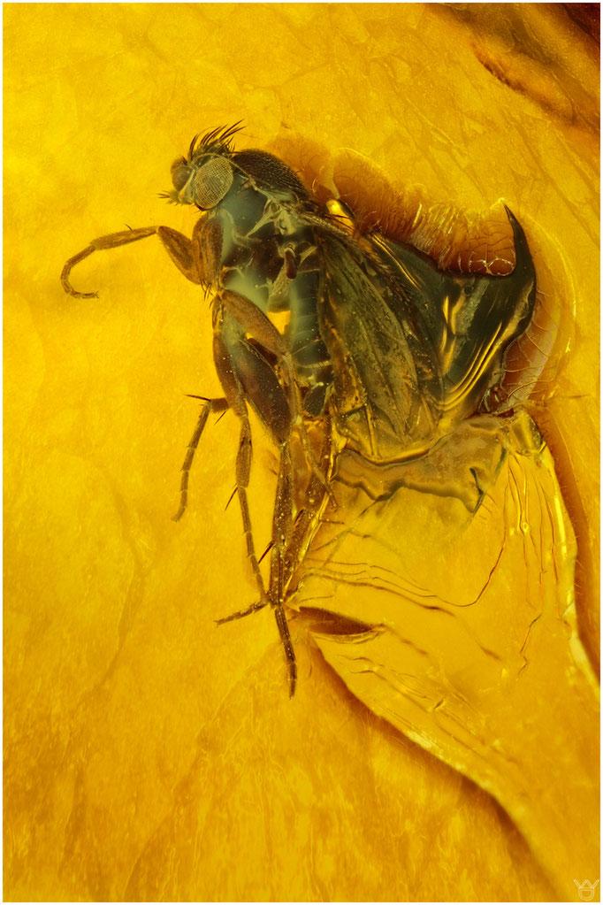 576, Brachycera, Fliege, Baltic Amber