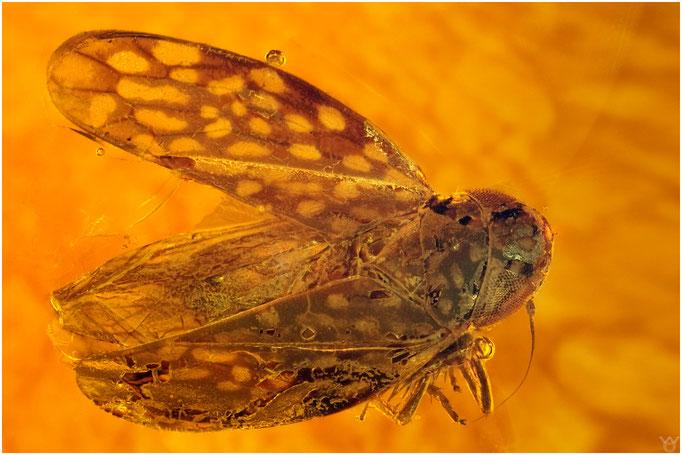 579, Cicadina, Zikade, Dominican Amber