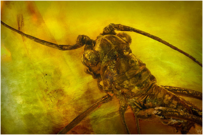 567. Orthoptera, Sprinschrecke, Baltic Amber