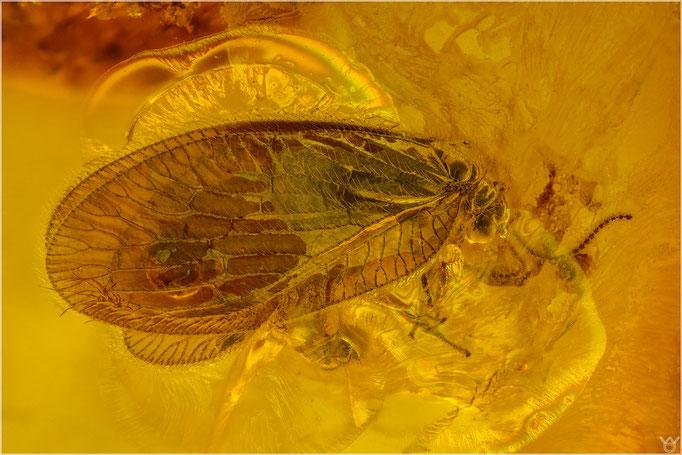 619, Hemerobiidae, Sympherobius siriae, Braune Florfliege, Baltic Amber
