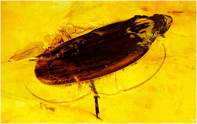 640, Cicadina, Zikade, Baltic Amber