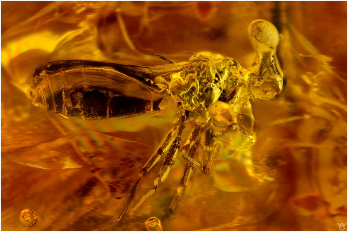 633, Diopsidae, Stielaugenfliege, Baltic Amber