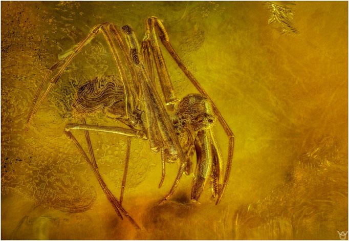 631, Archaea Paradoxa, Urspinne, Baltic Amber