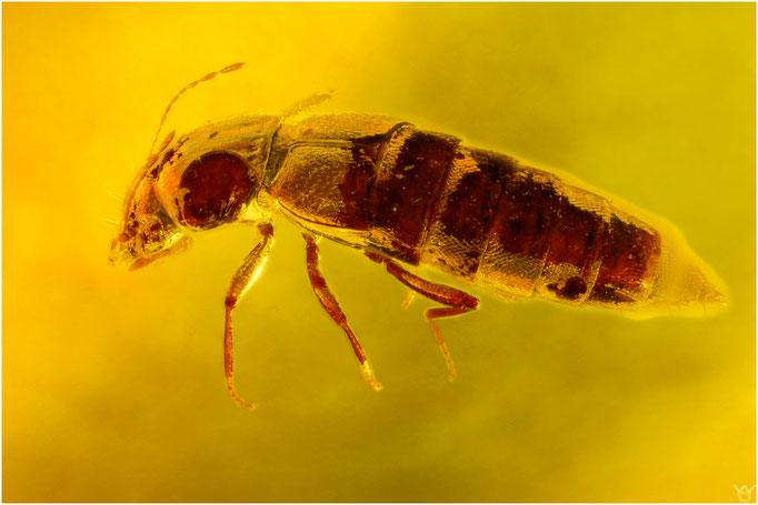 563. Coleoptera, Käfer, Baltic Amber