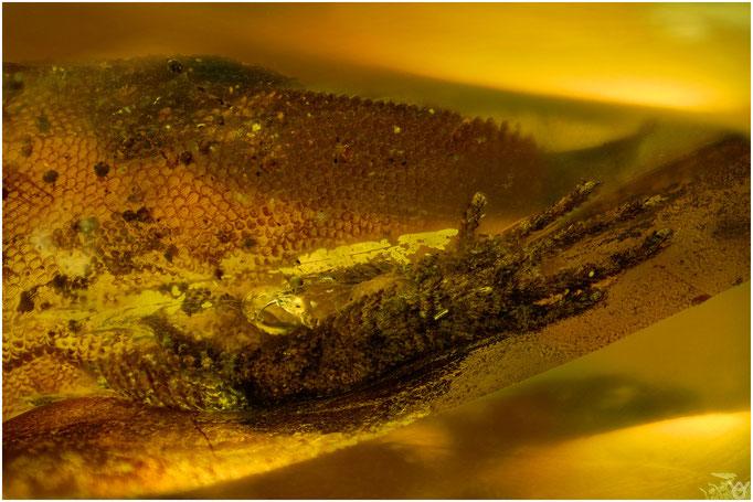 629, Lizard Hand, Eidechsen - Fuß, Burmese Amber