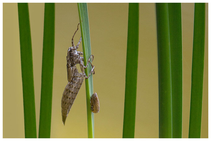 Exuvie einer Libelle und eine Schnecke