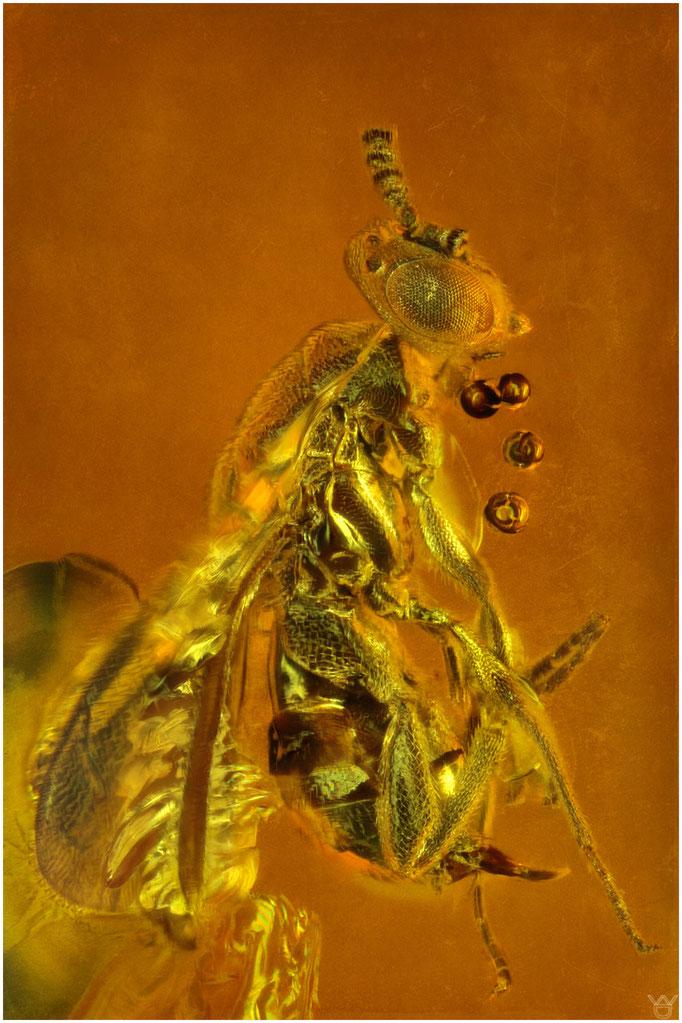 590, Hymenoptera, Wespe, Baltic Amber