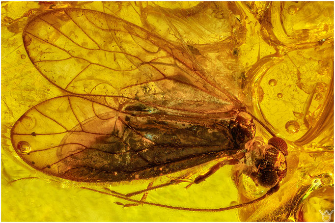 570, Psocoptera, Staublaus, Baltic Amber