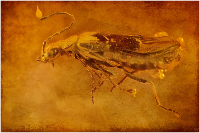 608, Coleoptera, Käfer, Baltic Amber