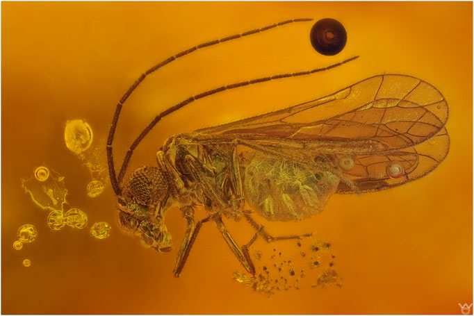 593, Psocoptera, Staublaus,  Dominican Amber