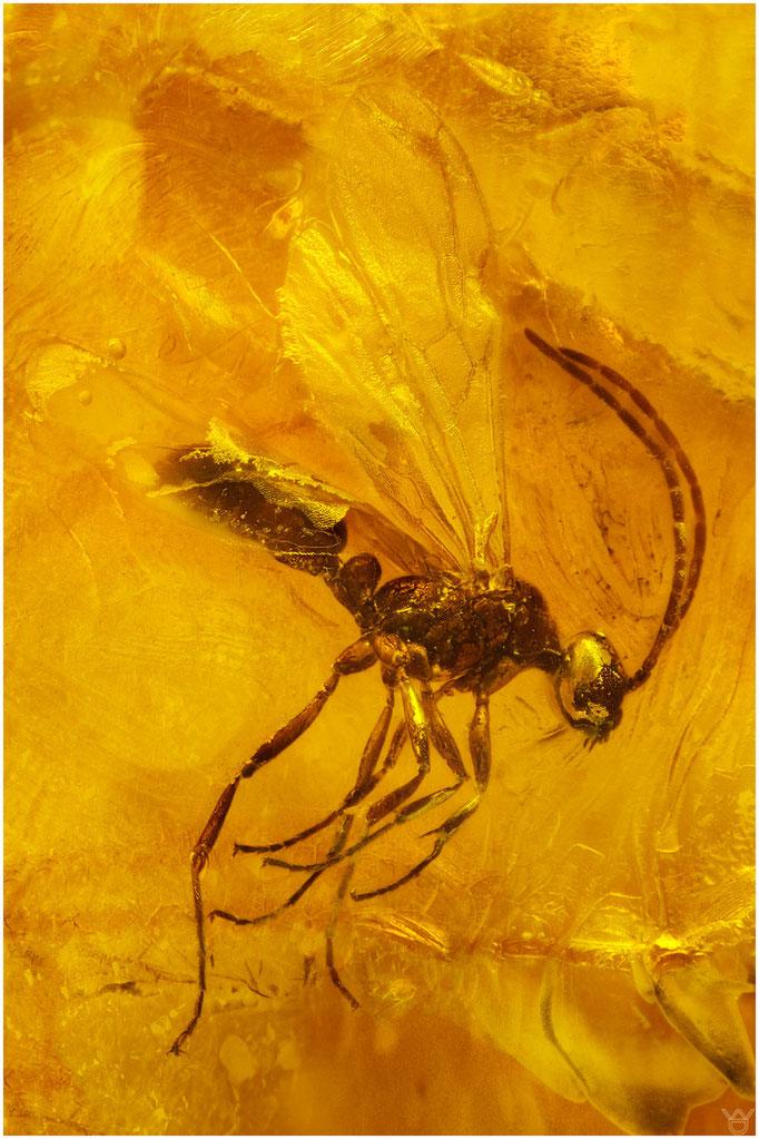 613, Ichneumonidae, Schlupfwespe, Baltic Amber