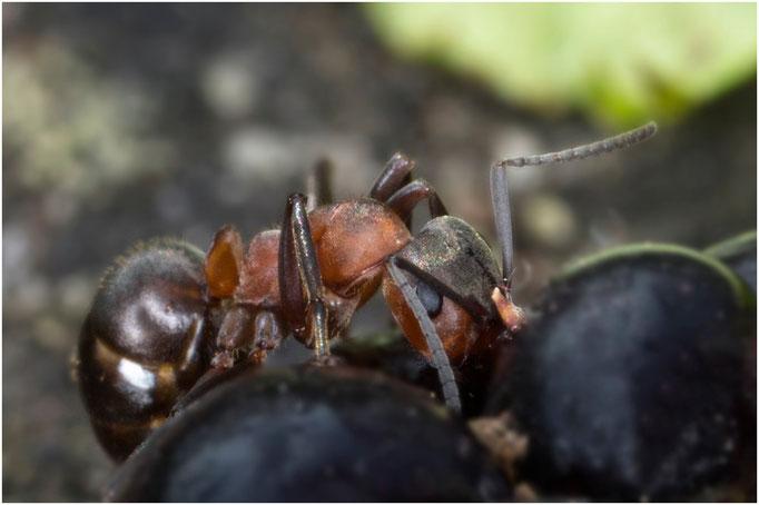 Ameise nascht an einer Himbeere